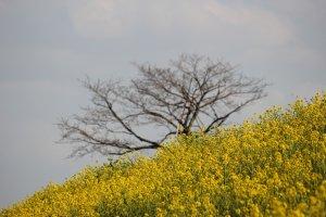 Cánh đồng hoa vàng ở Gyoda