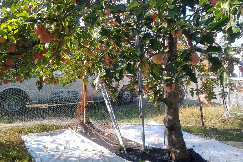 Apples hanging in the orchard.
