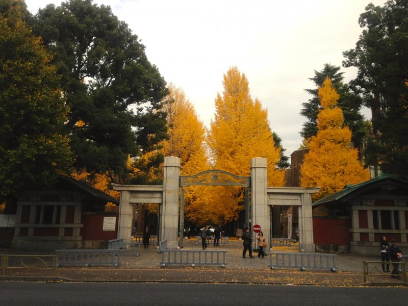 <p>University of Tokyo, Main Gate. The charm of ginkgo trees in autumn is that their yellow coloration is very pure and hence immensely striking to the eye.</p>