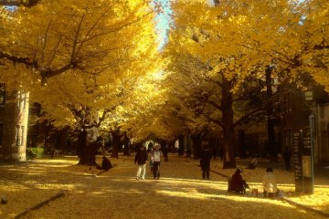 <p>The gingko tree avenue in their full glory. This golden carpet will last a week or two, and is especially spectacular on a clear, sunny day.</p>