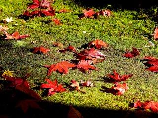 ใบไม้ฤดูใบไม้ร่วงในแสงอาทิตย์