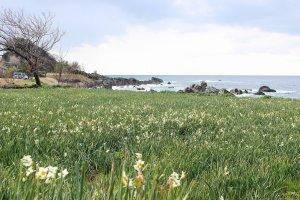 12月に咲きだす水仙は早春の3月まで寒い風に可憐な花を揺らし続ける