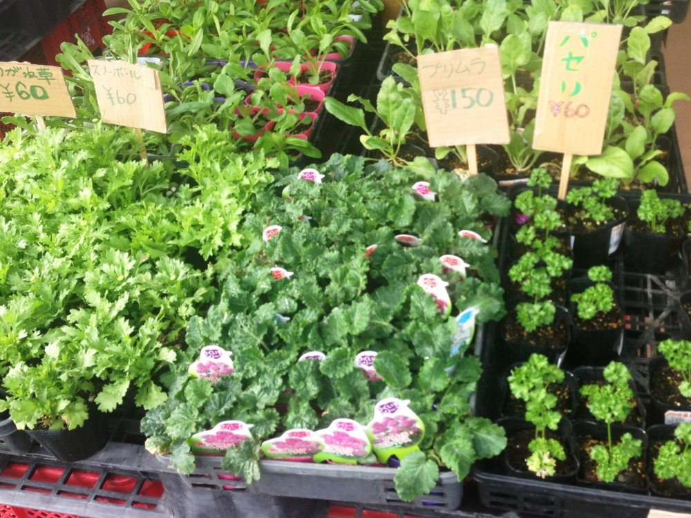 Parsley and other plants from just 60 yen at the Ashikita Farmers Market