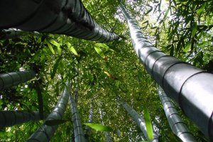 One thing that will strike you as you look up into the tops of the bamboo is how many shades of green there are