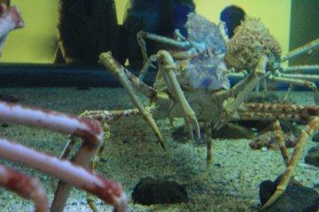 Giant Spider Crabs