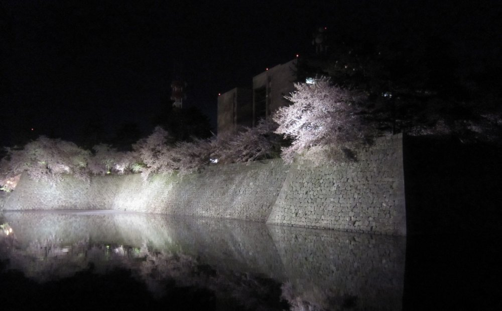 Illuminated Cherry blossoms in Fukui Castle ruins at night. The water in the moat reflects the cherry trees