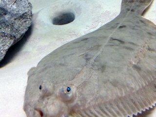 O peixe-chato tem escamas que o ajudam a camuflar-se no fundo arenoso do mar. É por esta razão que os seus olhos estão na parte de cima do seu corpo.