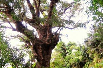 <p>One of the giant akagi trees</p>