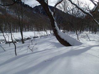 ต้นไม้ขนาดเล็กจะตกอยู่ภายใต้หิมะหนาหนึ่งเมตร มีแต่ต้นใหญ่ๆ เท่านั้นที่สามารถยืนสูงในป่า