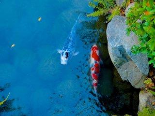 Carpas de várias cores no Lago Hyotan-ike