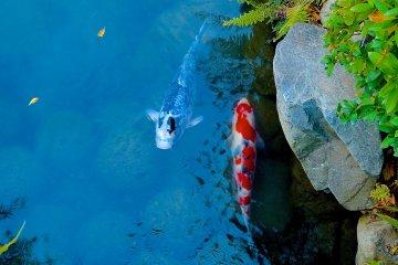 <p>Varicolored carp&nbsp;in Hyotan-ike&nbsp;Pond</p>