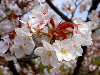 As cerejeiras que desabrocham mais tarde são raras, pois as folhas novas aparecem ao mesmo tempo que as flores