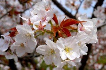 늦게 피는 벚나무는 새 잎이 꽃과 같은 시간에 나타나기 때문에 흔치 않다
