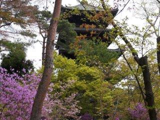 Azáleas desabrocham ao mesmo tempo que as sakura