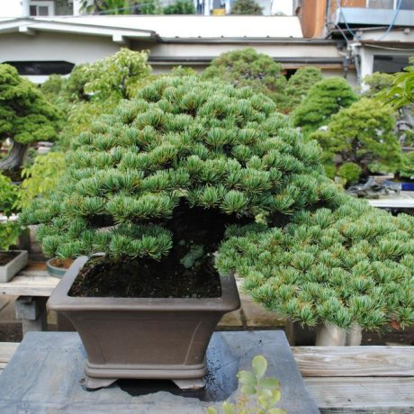 Exploring Omiya Bonsai Village