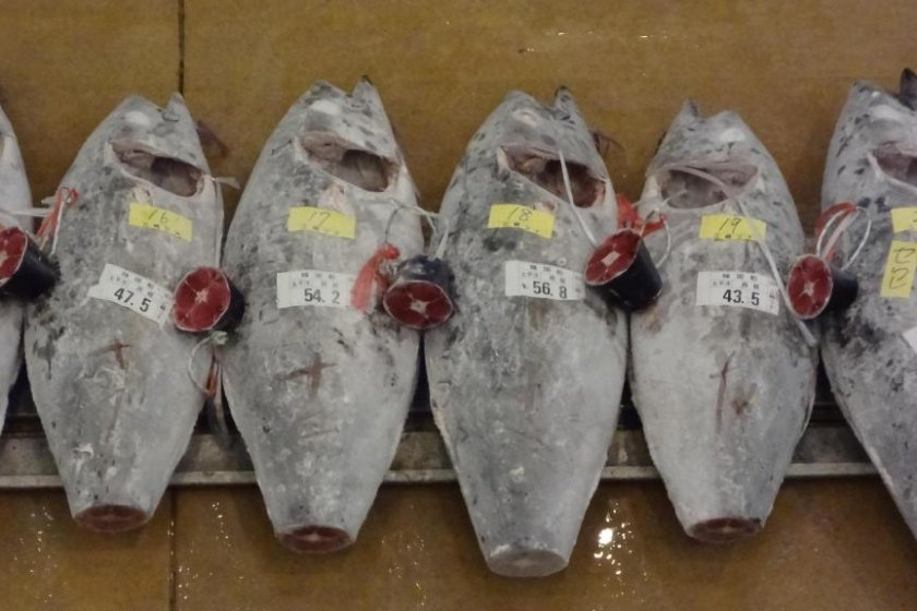 After being transferred from the fishing crafts, a tuna's organs and gills are removed and its size and weight checked. It is then numbered. After that, the tail is cut off and displayed next to the body.
