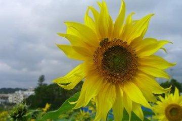 Sunflowers in Kitanakagusuku