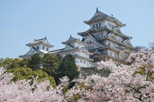 ปราสาทฮิเมจิ ช่วงที่ดอกซากุระบาน