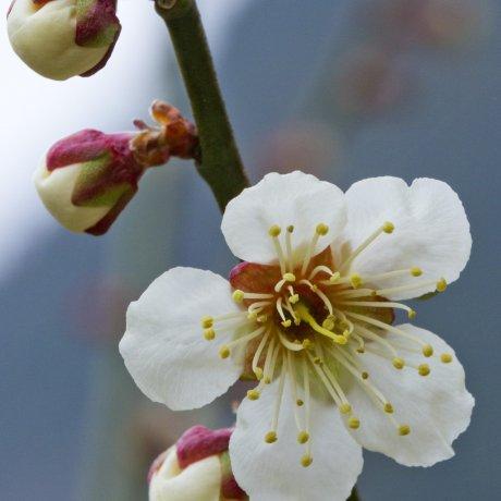 Hoa mơ trắng xóa trên núi Iwara