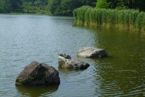 Những chú rùa trong hồ nước