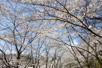 <p>&nbsp;Cherry blossoms are amazing.</p>