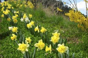 観音像へ向かう道沿いに咲く水仙の花