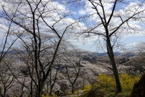 Pohon sakura lagi. Ada banyak sekali pepohonan sakura di sini. Banyak.