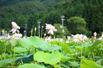 Hanahasu Lotus Park