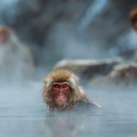 Parc aux singes des neiges de Jigokudani