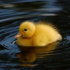 Noriko Duck